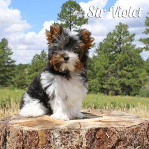 Biewer Puppy Violet