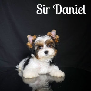 Biewer Puppy Daniel