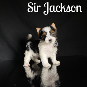 Biewer Puppy Jackson