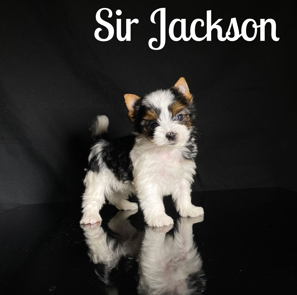 Biewer Terrier Puppy Sir Jackson Is Available At