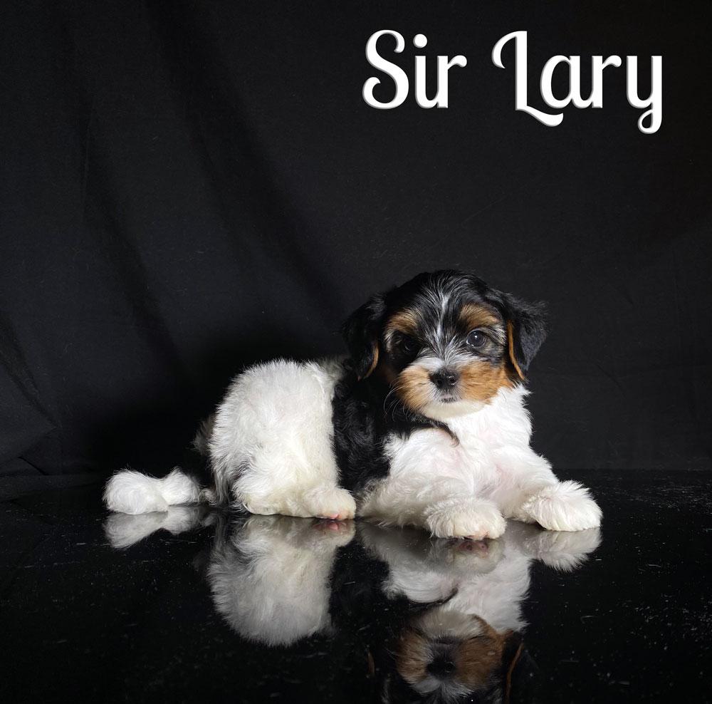 Biewer Terrier Puppy Sir Lary Is Available At Biewerworld Com