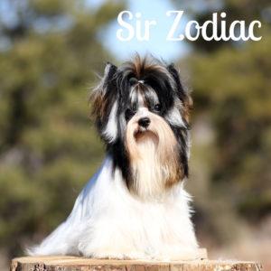 Biewer Puppy Zodiac