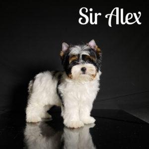 Alex Biewer Puppy