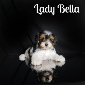Bella Biewer Puppy
