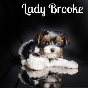 Biewer Puppy Brooke