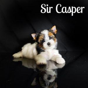 Biewer Puppy casper