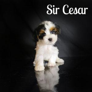 Cesar Biewer Puppy
