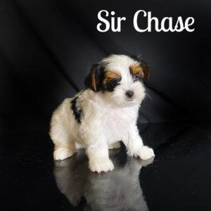 Chase Biewer Puppy