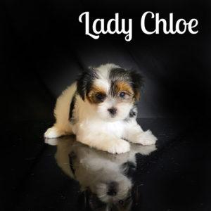 Chloe Biewer Puppy