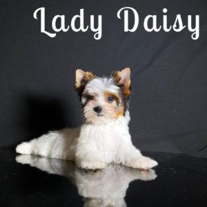 Daisy Biewer Puppy