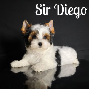 Diego Biewer Puppy