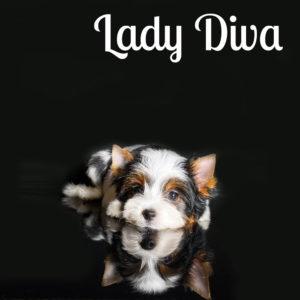 Diva Biewer Puppy