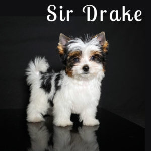 Biewer Puppy Drake