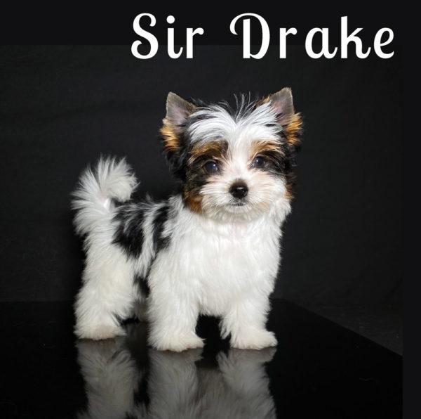 Biewer Puppy Drake