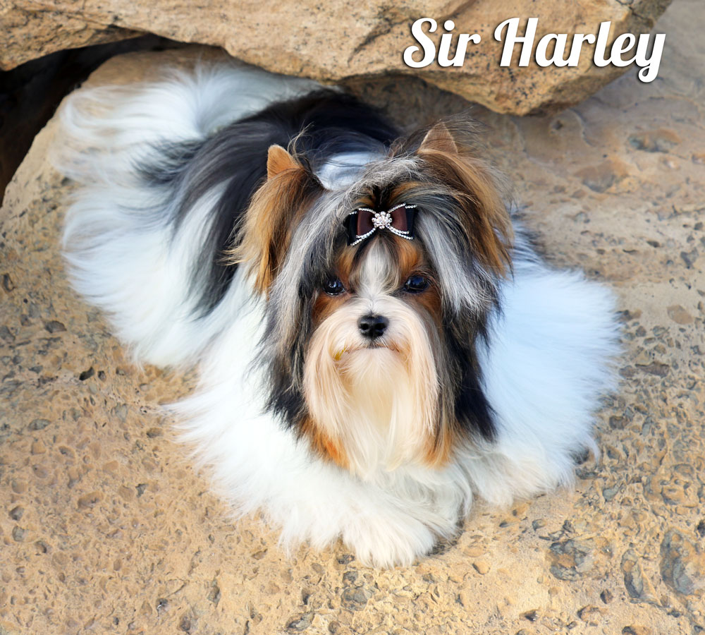 Biewer Terrier Stud Sir Harley
