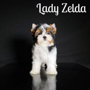 Zelda cutest Biewer Puppy