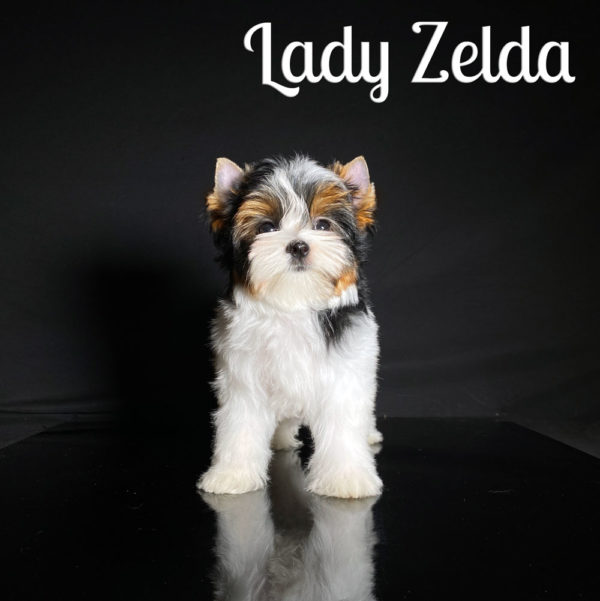 Zelda cutest Biewer Puppy