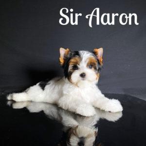 Biewer Puppy Aaron