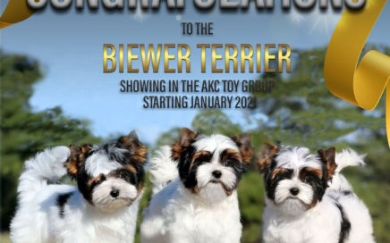 Biewer Terrier moving to Toy Group