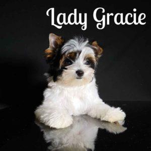 Gracie Biewer Puppy
