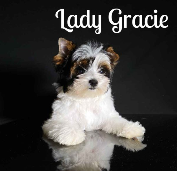 Gracie Biewer Puppy