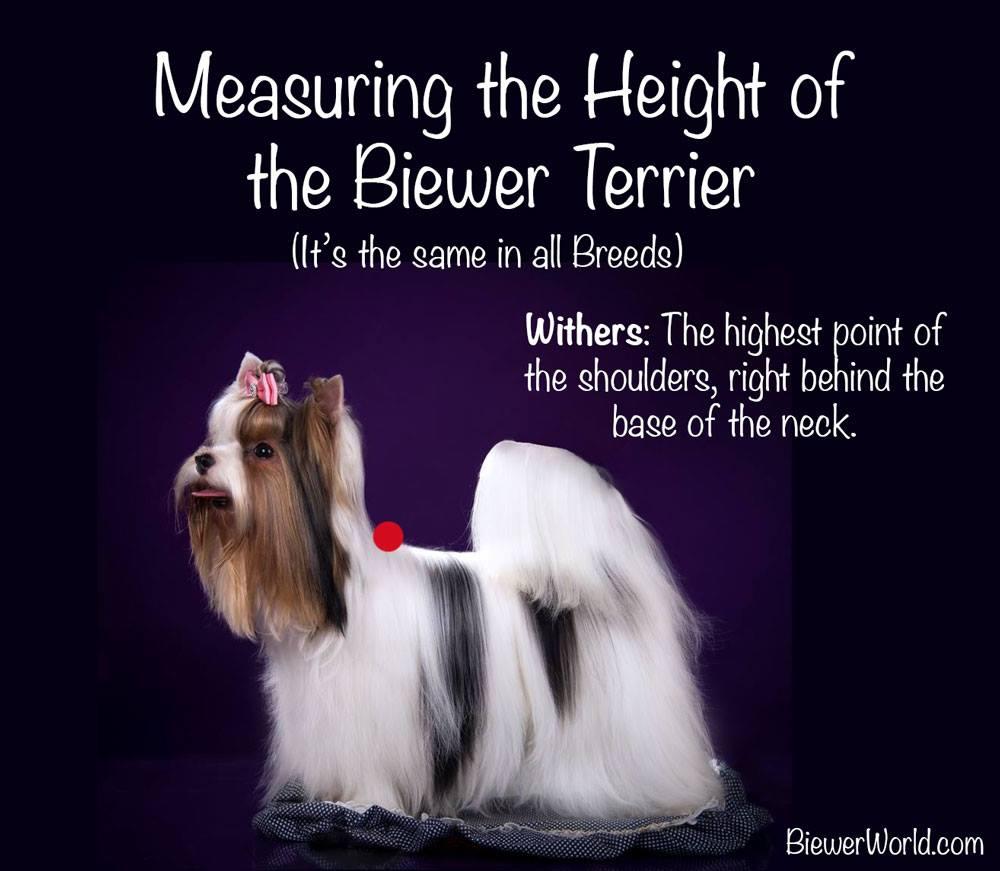 Hight of Biewer Terrier