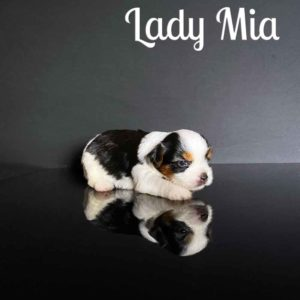 Biewer Puppy Mia