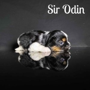 Odin Biewer Puppy