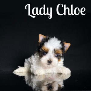 Chloe Biewer Puppy