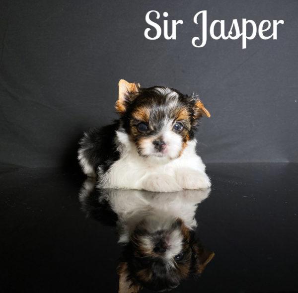 Biewer Puppy Jasper