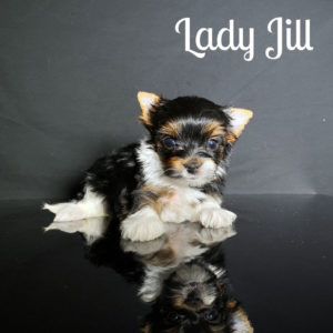 Biewer Puppy Jill