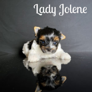 Biewer Puppy Jolene