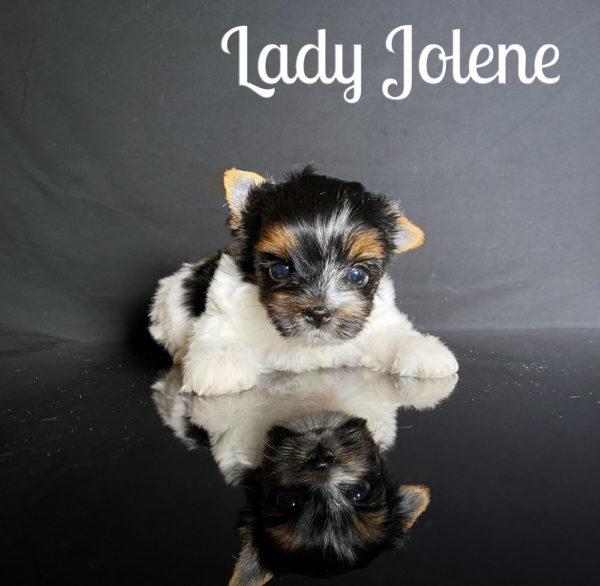 Biewer Puppy Jolene