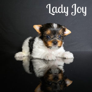 Joy Biewer Puppy