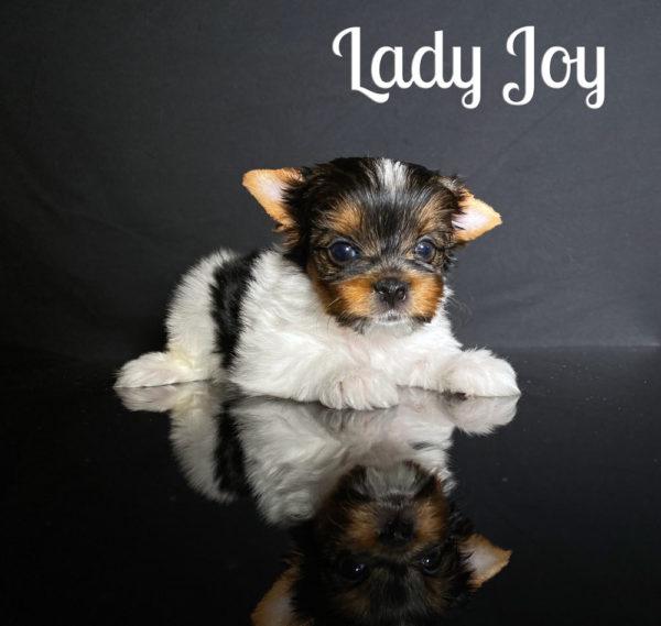 Joy Biewer Puppy