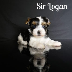 Biewer Puppy Logan