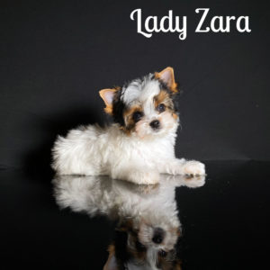 Zara Biewer Puppy