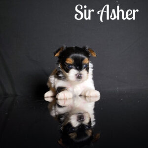 Asher Biewer Puppy