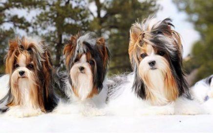 Biewer Terrier Color Genetics.