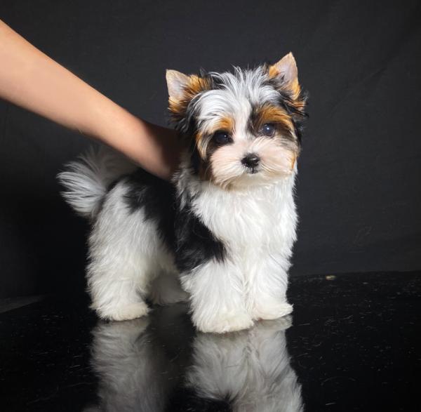 Biewer Show Pup