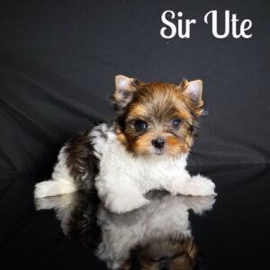 Sir Ute RSD Puppy