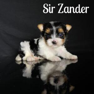 Zannder Biewer Baby