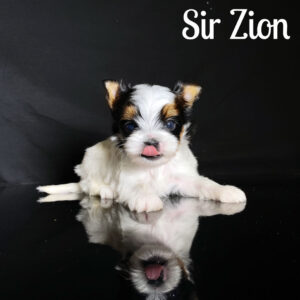 Zion Biewer Puppy