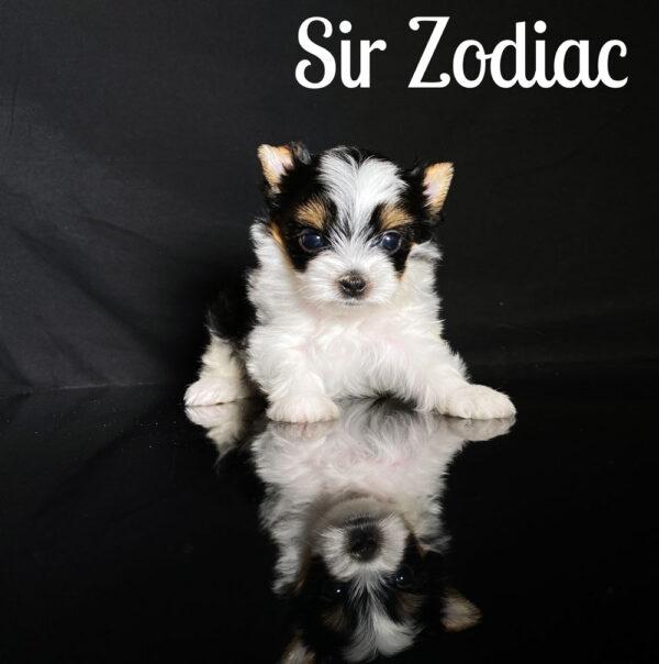 Zodiac Biewer Puppy