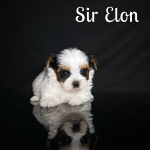 Elon Biewer Puppy