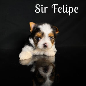 Felipe Biewer Puppy