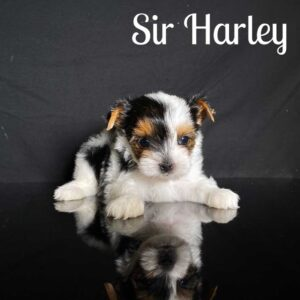 Harley Biewer Puppy