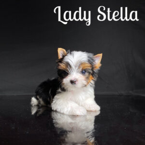 Biewer Puppy Stella