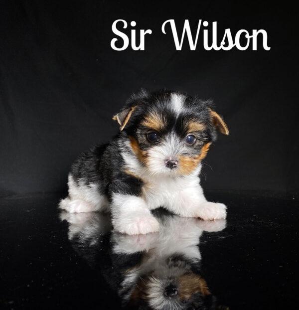 Biewer Puppy Wilson