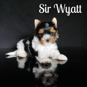 Biewer Puppy Wyatt